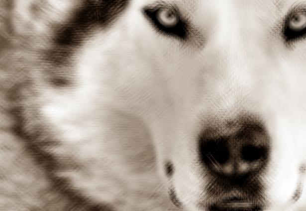 Perseguint un llop